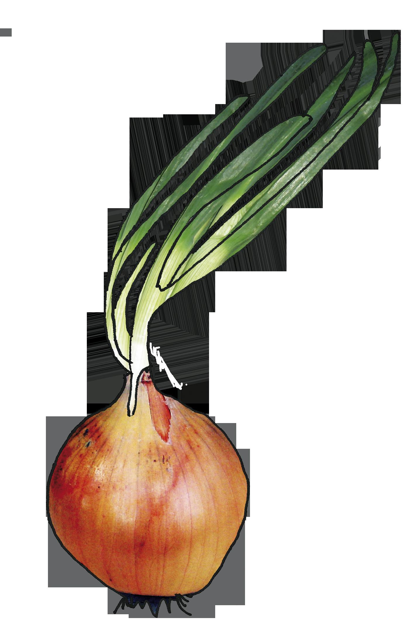Frische Zwibel Gärtnerei Diekmann Logo