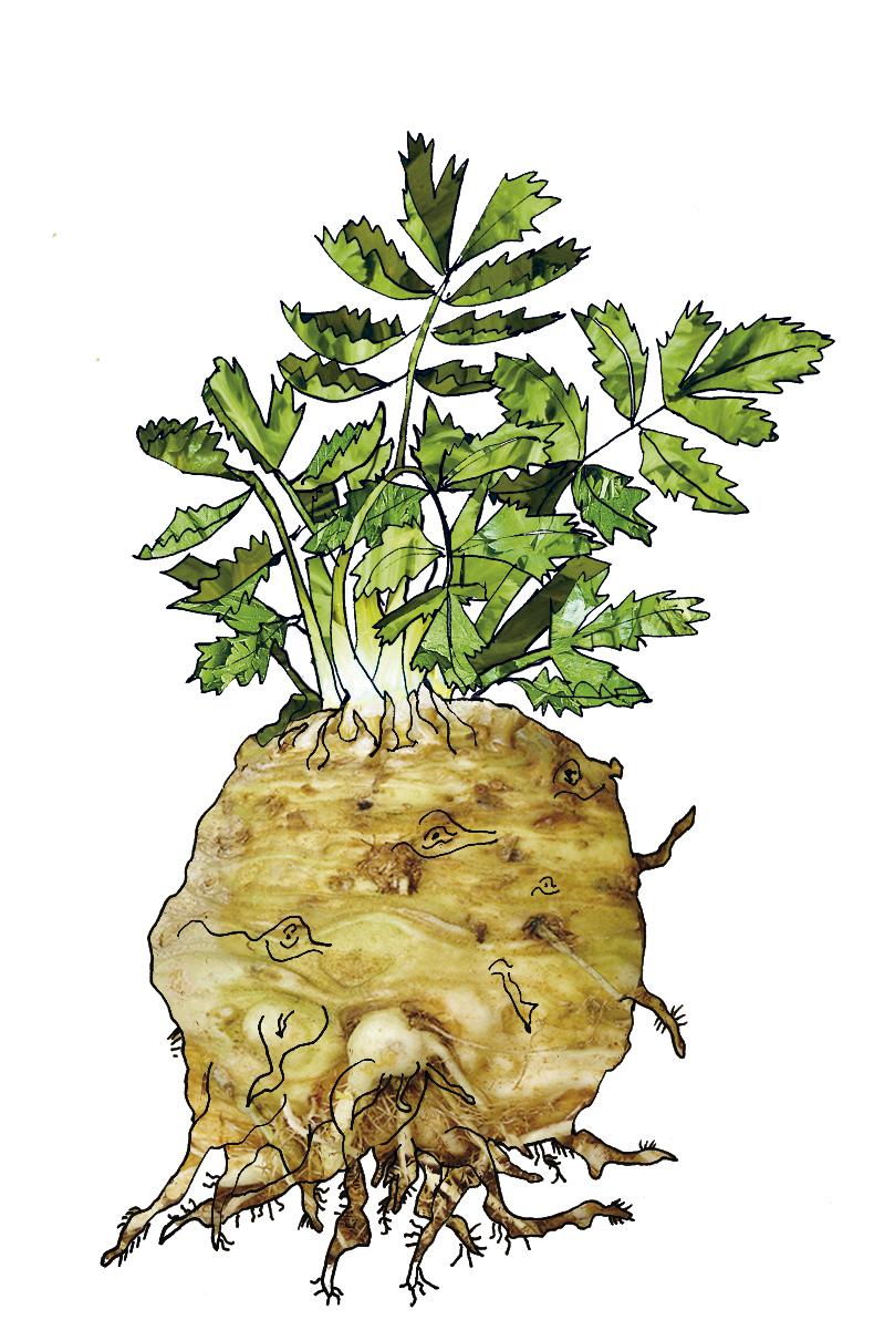 Frischer Knollenselleri  Gärtnerei Diekmann Logo